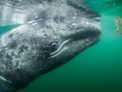 Серый кит, лагуна Сан-Игнасио, Мексика. (Фото Thomas P. Peschak | National Geographic)