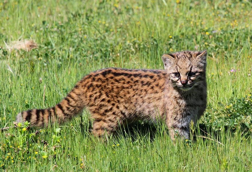 leopardus-guigna