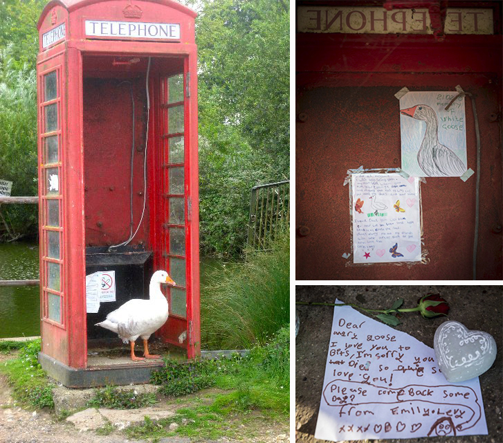 The goose which has died, who had lived on one of the ponds in Sandon, Herts, since it hatched 11 years ago. See Masons copy MNGOOSE: A community is mourning the loss of its favourite feathered friend after brutal yobs shot and killed a goose which had been a part of the village for over a decade. Villagers have been left outraged after the brutal killing of the bird which had lived on one of the ponds since it hatched 11 years ago. The male goose was often seen chaperoning new-born ducklings around the roads and even scared off foxes.