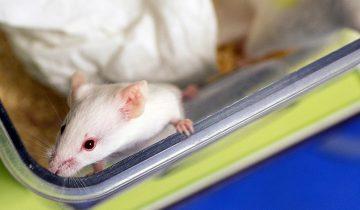 Впервые в мире получено здоровое потомство от однополых мышей
