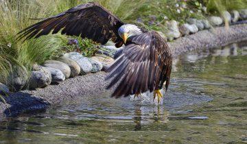 Белоголовый орлан, национальный символ США.